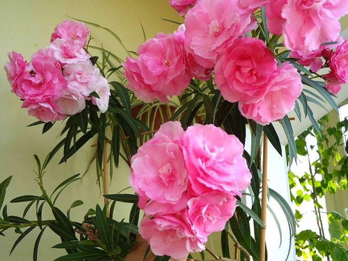 Oleander is a poisonous plant that causes poisoning and severe allergic reactions