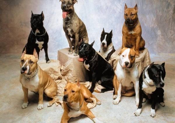 Как выбрать бойцовую собаку