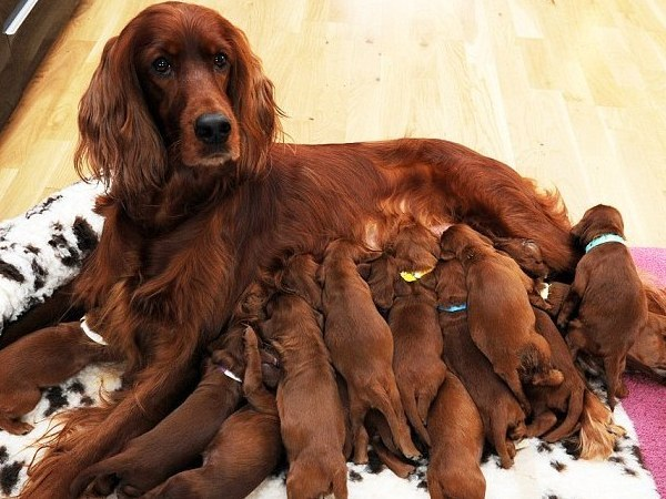 A dog with healthy puppies