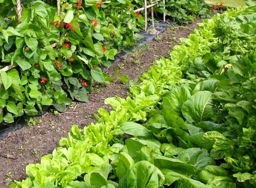 Многие овощи с удовольствием соседствуют друг с другом