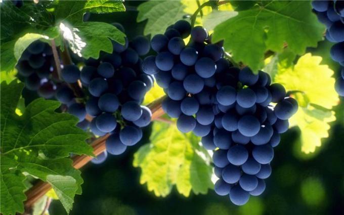Сухая подвязка винограда