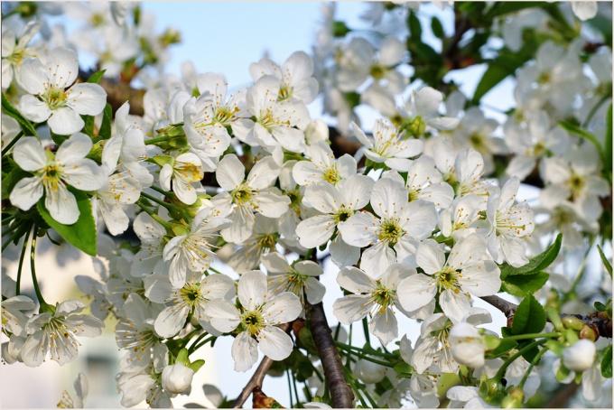 Почему вишня цветет, а урожая нет?