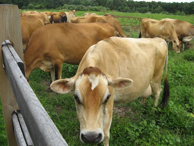 Особенности коровы породы джерси