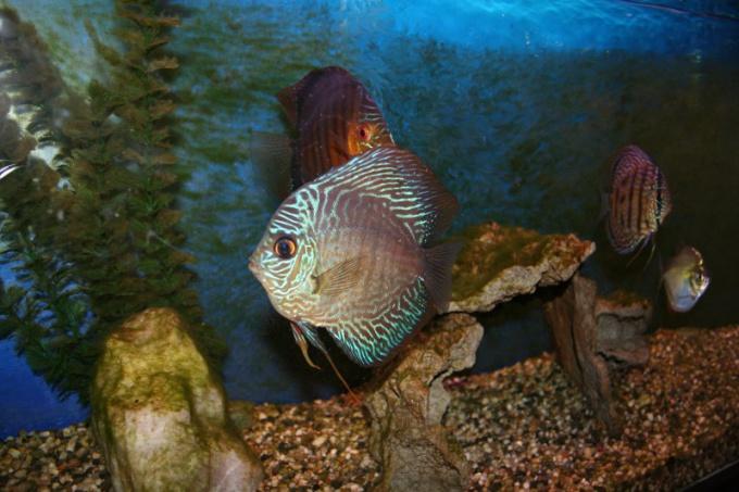 Вода в аквариуме должна быть бесцветной и прозрачной