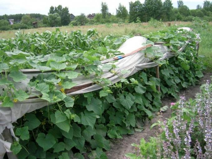 Как высаживать рассаду огурцов