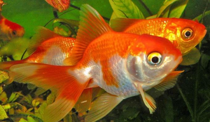 ухаживать за рыбами в аквариуме