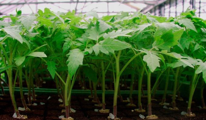 Как выбрать рассаду томатов