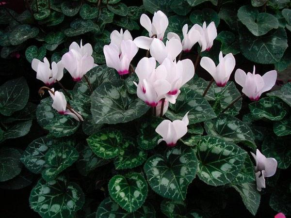 уход и выращивание цикламена в домашних условиях