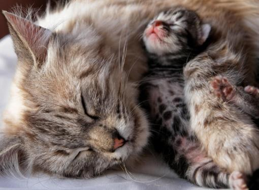 Как принимать роды у кошек