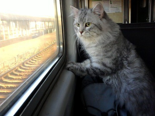 What documents are needed to transport cats on the train