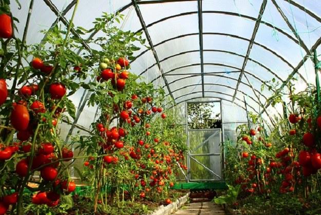 Как нужно сажать помидоры в теплицу