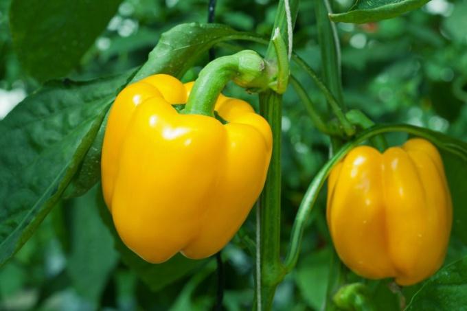 Как вырастить перец на семена