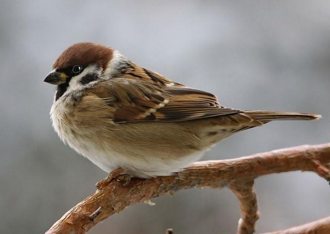 Какая птица меньше, чем воробей