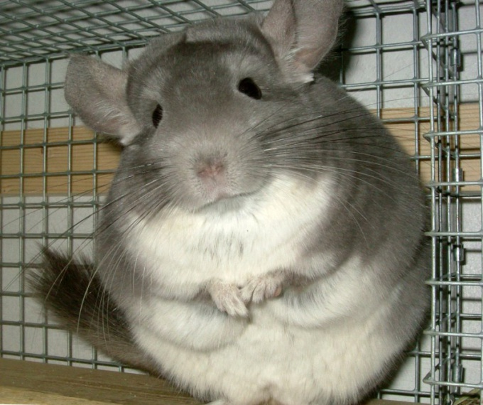How to know if a chinchilla is pregnant