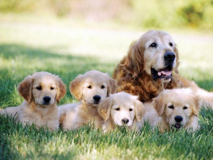 Какой срок беременности у собак