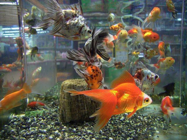 аквариумные золотые рыбки