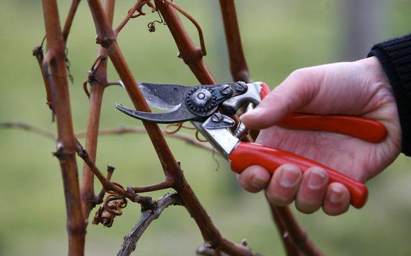 Когда дозволено обрезать виноград