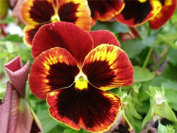 Почему цветы называются анютиными глазками