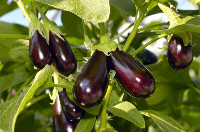 How to grow eggplant in the country