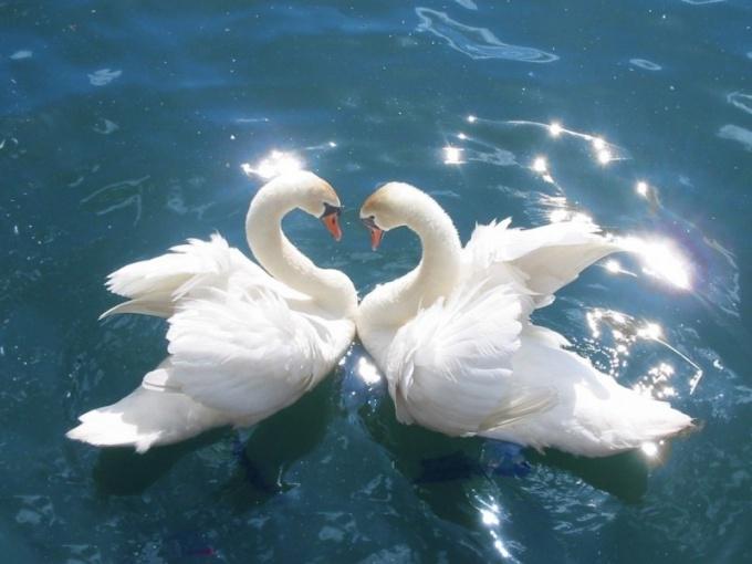 Лебеди - это «семейные» птицы!