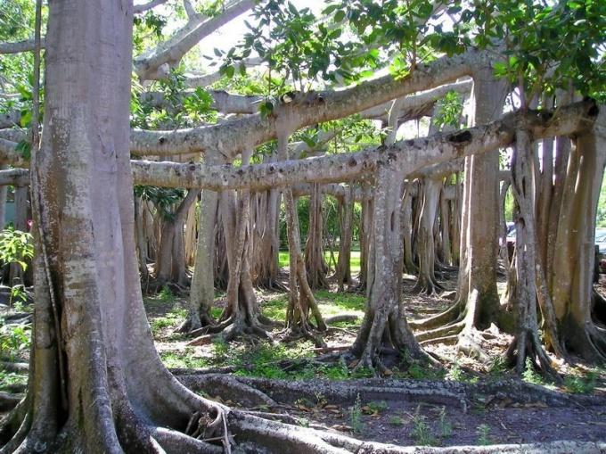 Придаточные корни-подпорки баньяна