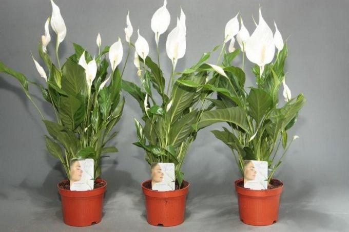 Комнатные цветы женское счастье фото и название