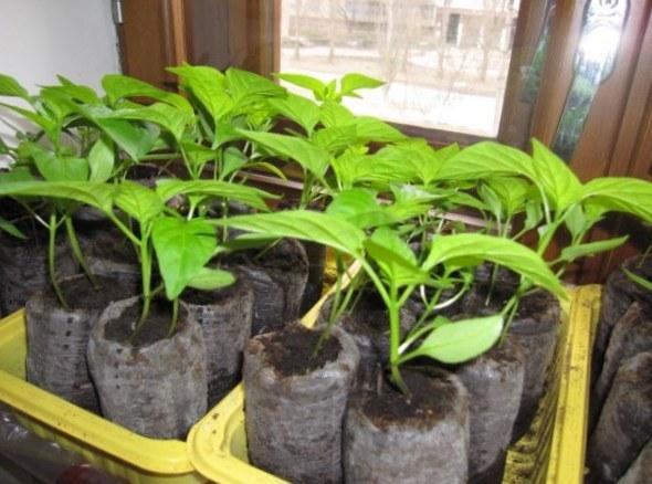 Как пересадить рассаду перцев