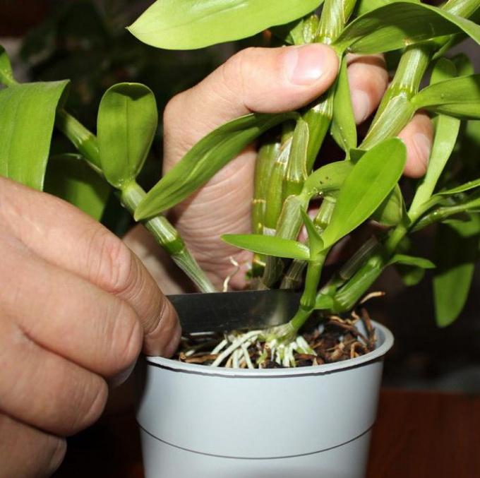 Transplant of Dendrobium