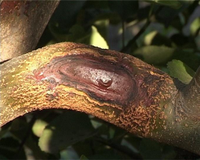 Замазка на оторваной ветке дерева