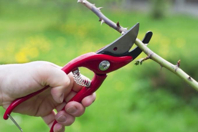 Как обрезать кусты весной
