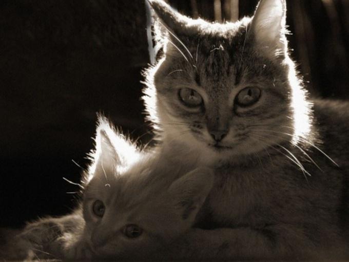 Как часто у кошки бывают котята