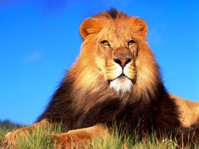 Лев - символ храбрости