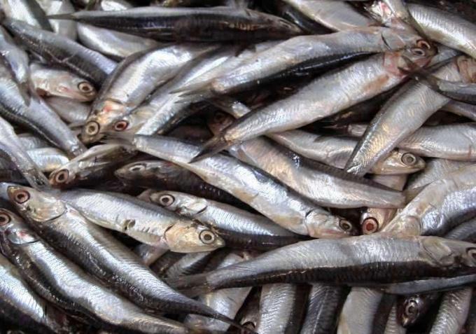 Как ловят рыбу в промышленных целях