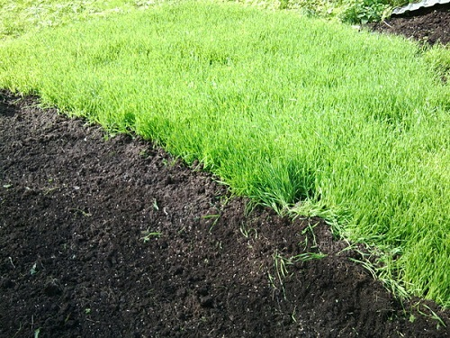 Как улучшить плодородность почвы при помощи сидерации