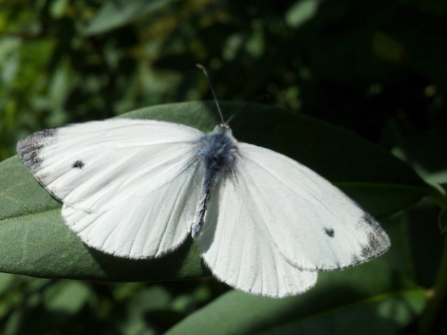How to deal with cabbage white