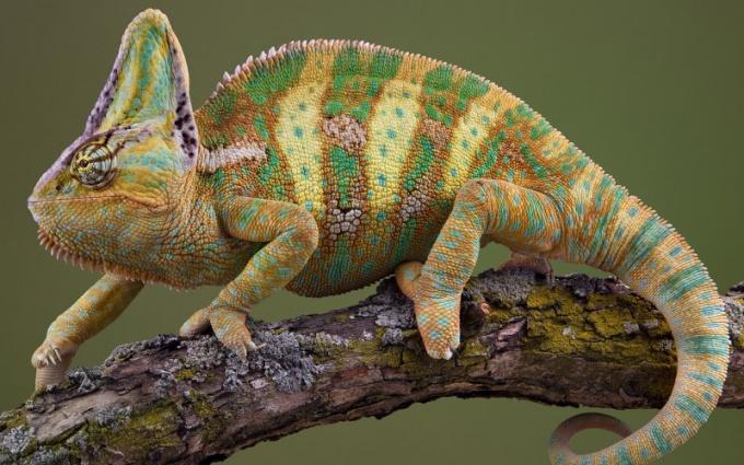 Как хамелеон меняет окраску