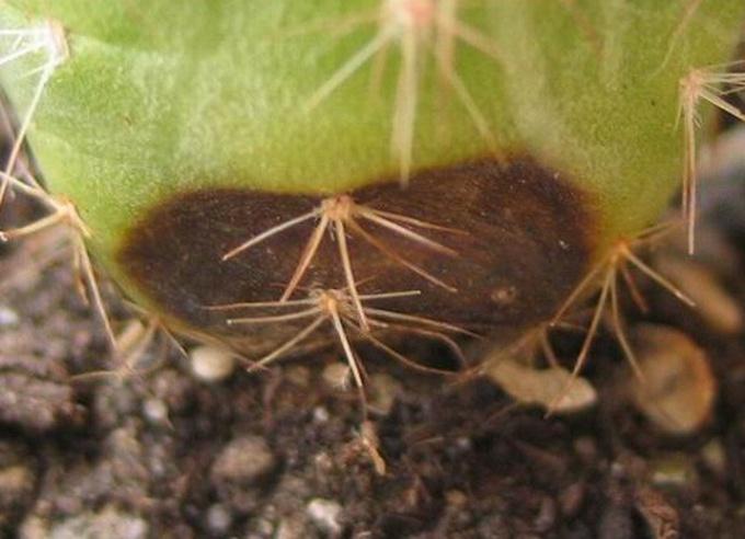 От чего гибнут кактусы