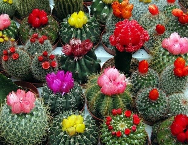 Кактусы - типичные представители семейства растений-сухоцветов