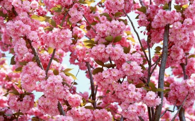 Как цветет персик