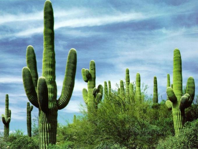 Какие кактусы растут в Америке
