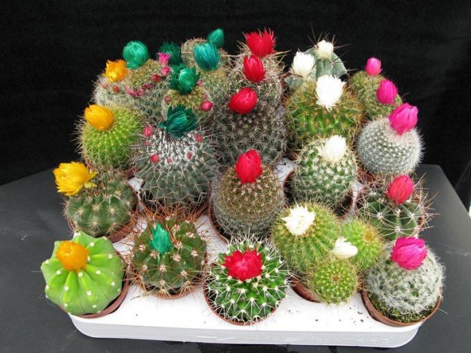 Какой кактус можно держать дома