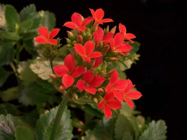 Как цветет каланхоэ