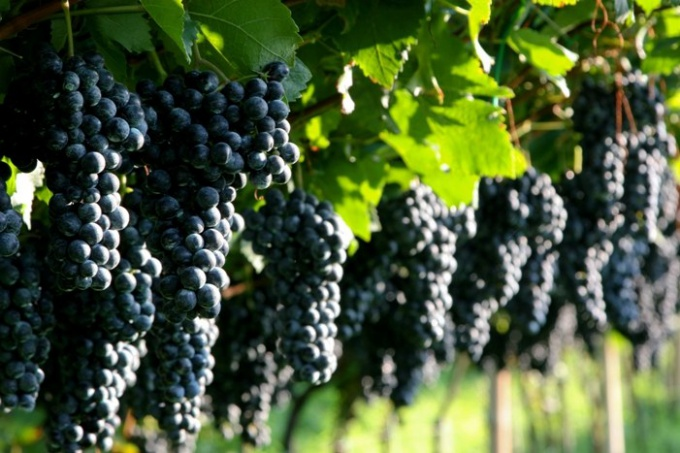 Какое удобрение сыпать под виноград