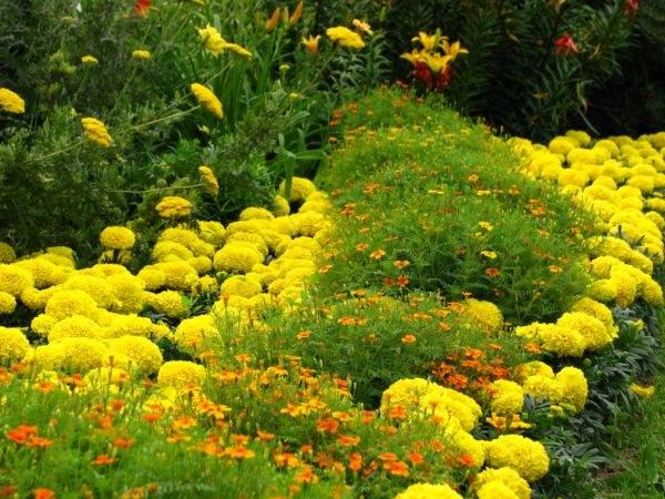 Бархатцы - любимые однолетние растения многих садоводов