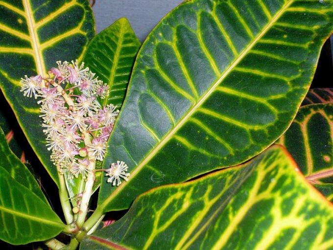 Кротон цветет невзрачными мало декоративными цветами