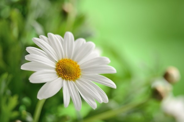 Chamomile relieves internal and external inflammation