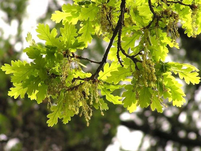 As blooms the oak