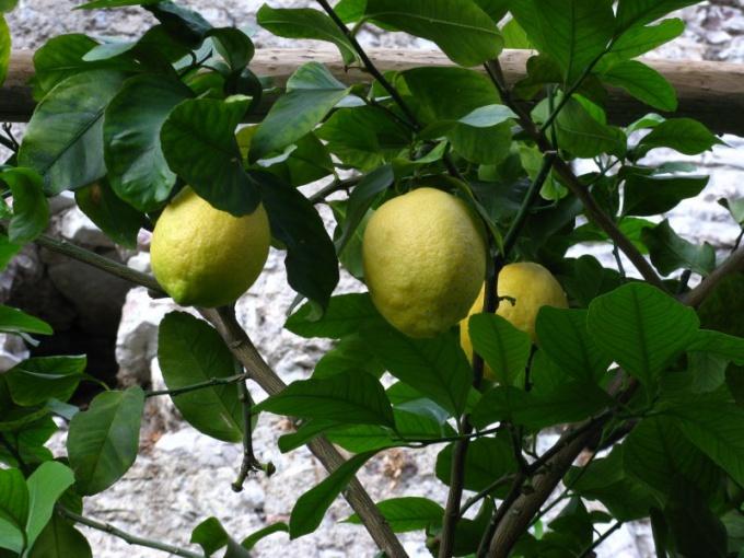 Как цветет лимон