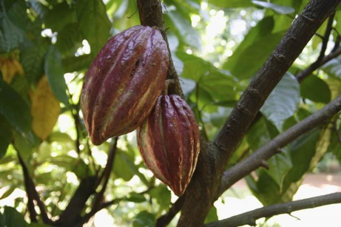 Масло какао от целлюлита