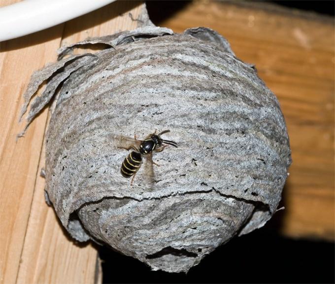 Какой дом у осы
